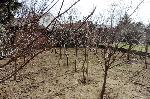 gbild -- Grundstück  mit Obstbäumen in Ruhelage /  / 2425Nickelsdorf / Bild 1